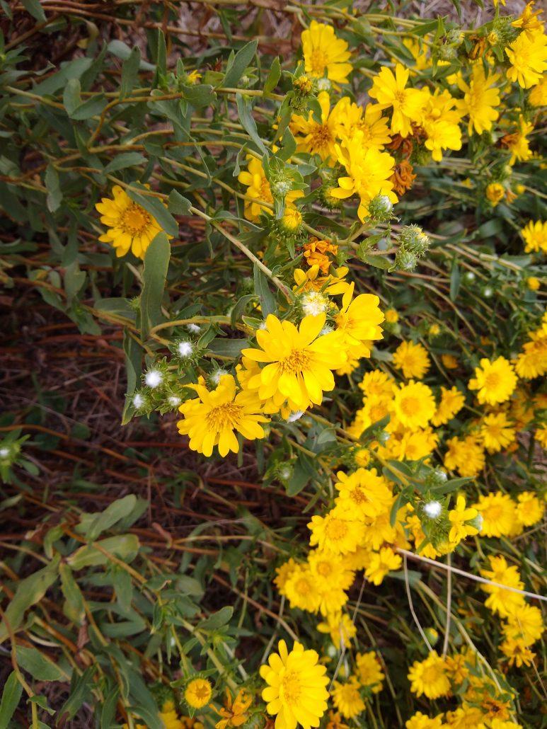 Marsh gumplant (Grindelia stricta var. angustifolia).