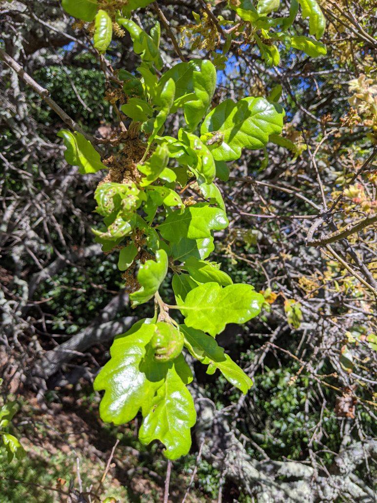 Possible Jolon oak (Quercus ×jolonensis)