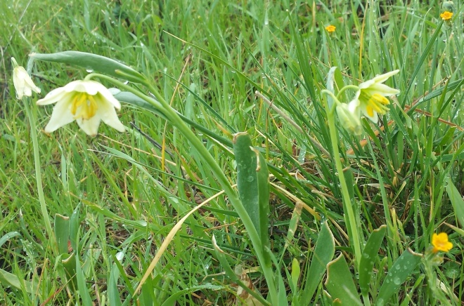 Fragrant fritillaries (Fritillaria liliaceae)