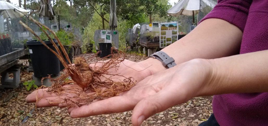 Giant trillium (Trillium chloropetalum) bulb