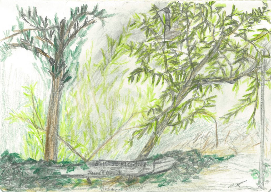 Arroyo willows (Salix lasiolepis)
