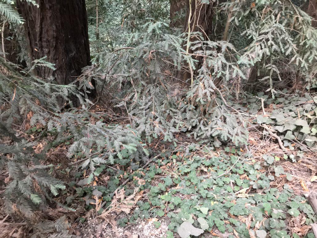 Redwood sorrel (Oxalis oregana)