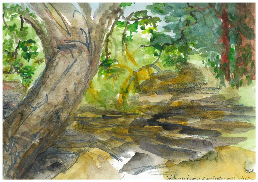 California buckeyes (Aesculus californica)